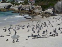 Pingouins de Cape Town Photos libres de droits