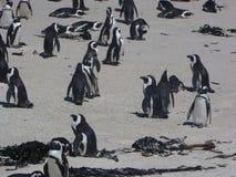 Pingouins de Cape Town Photos stock