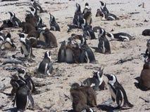 Pingouins de Cape Town Image stock