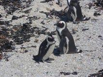 Pingouins de Cape Town Image libre de droits
