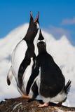 Pingouins de chant Photo stock