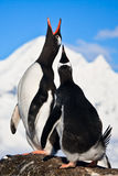Pingouins de chant Images libres de droits