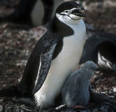 Pingouins de Chinstrap, Antarctique Photo libre de droits