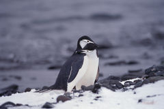 Pingouins de Chinstrap en Antarctique Photo libre de droits