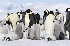 pingouins de forsteri d'empereur d'aptenodytes images stock