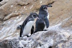 Pingouins de Galapagos Images libres de droits