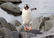 Pingouins de Gentoo Images stock