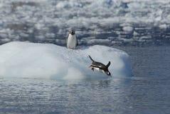 Pingouins de Gentoo Photo libre de droits