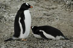 Pingouins de Gentoo Images libres de droits