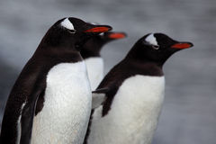 Pingouins de Gentoo, Antarctique Photographie stock libre de droits