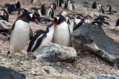 Pingouins de Gentoo avec le débutant image libre de droits