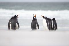 Pingouins de Gentoo dans le sable par le ressac Image stock