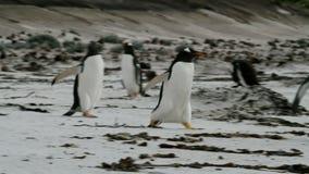 Pingouins de Gentoo fonctionnant autour sur la plage banque de vidéos