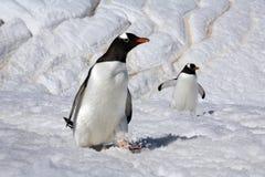 Pingouins de Gentoo - île de Danko - l'Antarctique Photo libre de droits