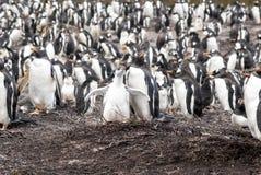 Pingouins de Gentoo - mère avec le poussin Photos libres de droits