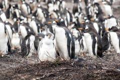 Pingouins de Gentoo - mère avec le poussin Image stock