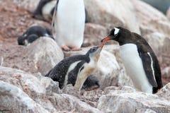 Pingouins de Gentoo, mère et poussin, Pygoscelis Papouasie, péninsule antarctique Images stock
