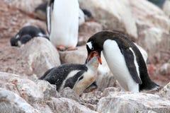 Pingouins de Gentoo, mère et poussin, Pygoscelis Papouasie, péninsule antarctique Image stock