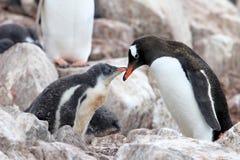 Pingouins de Gentoo, mère et poussin, Pygoscelis Papouasie, péninsule antarctique Images libres de droits