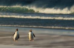 Pingouins de Gentoo marchant sur une plage sablonneuse par un temps orageux Images libres de droits