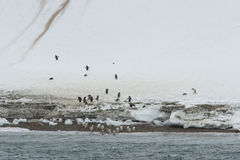 Pingouins de Gentoo, Neko Harbor, Antarctique Image libre de droits
