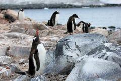 Pingouins de Gentoo, Pygoscelis Papouasie, péninsule antarctique Image libre de droits