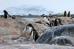 Pingouins de Gentoo, Pygoscelis Papouasie, péninsule antarctique Photos stock