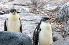 Pingouins de Gentoo, Pygoscelis Papouasie, péninsule antarctique Images stock