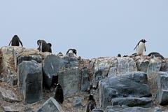 Pingouins de Gentoo, Pygoscelis Papouasie, péninsule antarctique Photographie stock