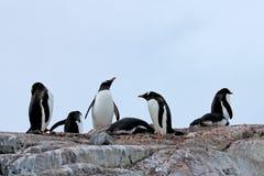 Pingouins de Gentoo, Pygoscelis Papouasie, péninsule antarctique Image stock