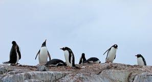 Pingouins de Gentoo, Pygoscelis Papouasie, péninsule antarctique Photographie stock libre de droits