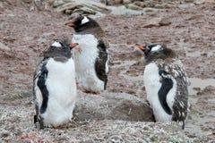 Pingouins de Gentoo, Pygoscelis Papouasie, péninsule antarctique Images libres de droits