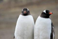 Pingouins de Gentoo, Pygoscelis Papouasie, péninsule antarctique Photos libres de droits