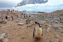 Pingouins de Gentoo, Pygoscelis Papouasie, péninsule antarctique Photo libre de droits