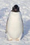 Pingouins de Gentoo qui se tient pendant l'hiver de neige Image stock