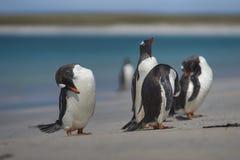 Pingouins de Gentoo sur une île plus morne dans Falkland Islands Photo libre de droits