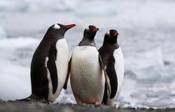 Pingouins de Gentoo sur une plage photo stock