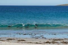 Pingouins de Gentoo - une île plus morne - Falkland Islands Photos stock