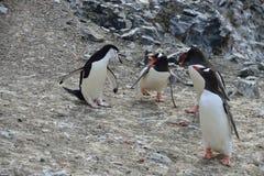 Pingouins de Gentoo Verticale d'un pingouin d'Adelie Image libre de droits