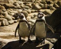 Pingouins de Humboldt Image libre de droits