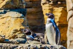 Pingouins de Humboldt Photos libres de droits