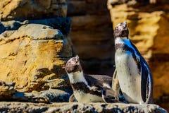 Pingouins de Humboldt Images stock