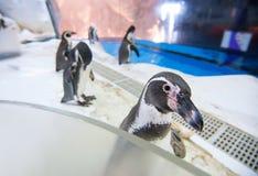 Pingouins de Humboldt photo libre de droits