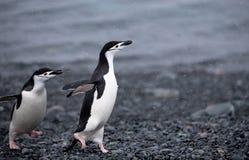 Pingouins de jugulaire Images stock