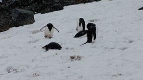 Pingouins de jugulaire sur l'île de demi-lune banque de vidéos