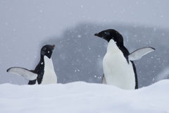 Pingouins de l'Antarctique Images libres de droits