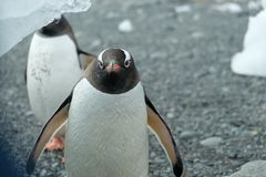 Pingouins de l'Antarctique Gentoo observant curieusement de sous un iceberg image stock
