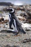 Pingouins de Magellan Image libre de droits