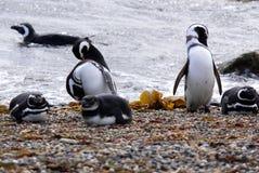 Pingouins de Magellan Photos libres de droits