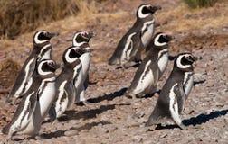Pingouins de Magellan dans le Patagonia Image libre de droits